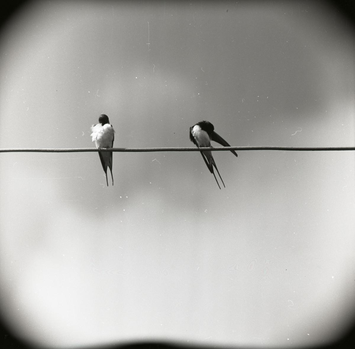 Två ladusvalor sitter på en elledning och uppvaktar varandra inför parning, 1959.