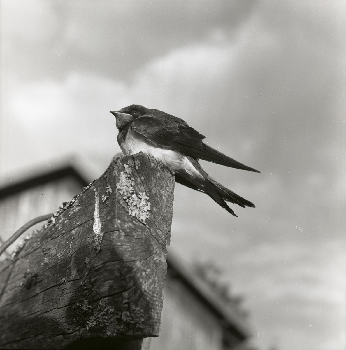 En ladusvala sitter på en stock, 1962.