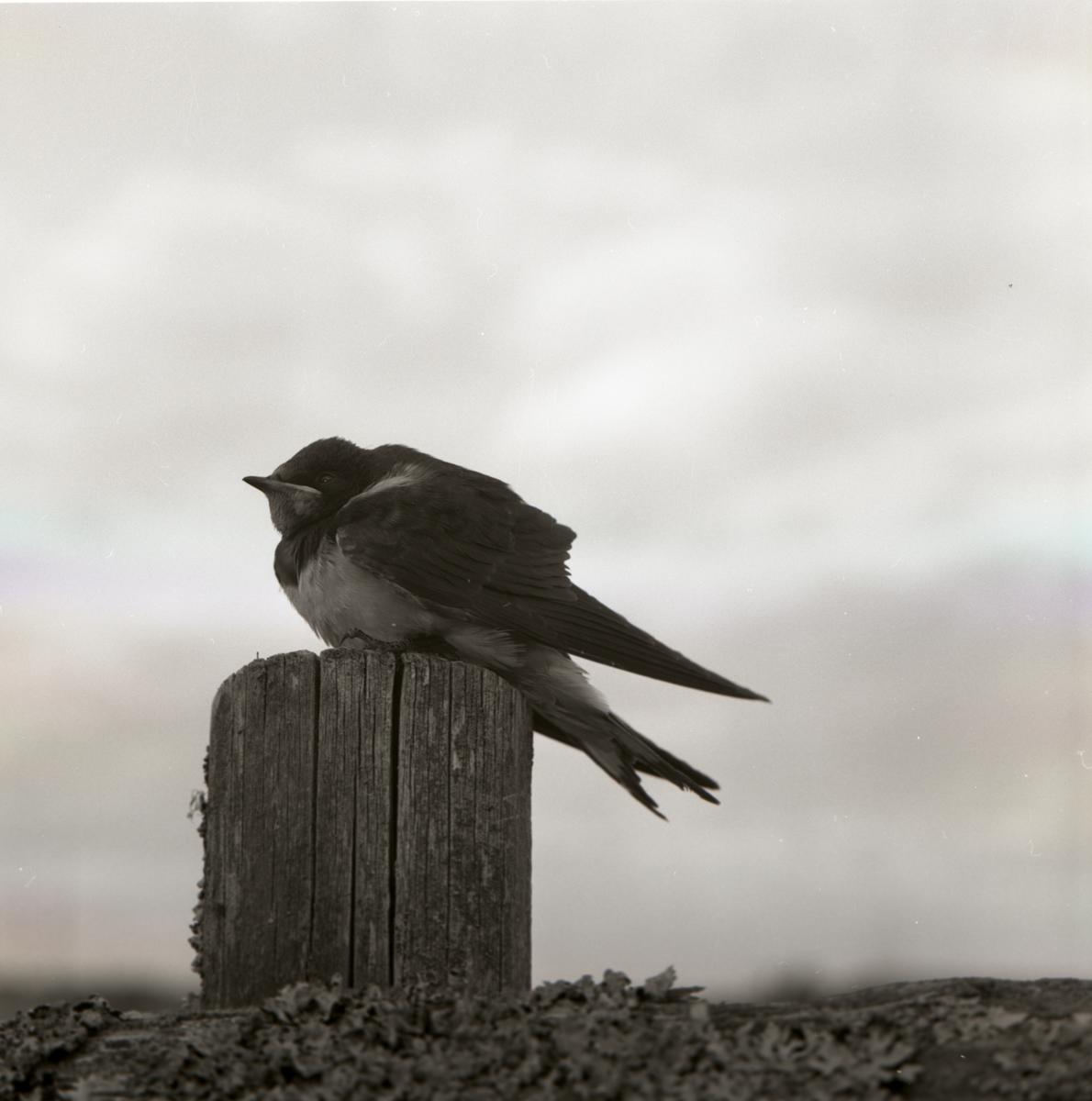 En ung ladusvala sitter på en stubbe, 1962.