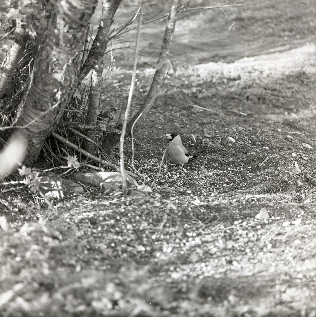 En ostasiatisk stenknäck står vid ett träd i Växsjö, 20 maj 1961.