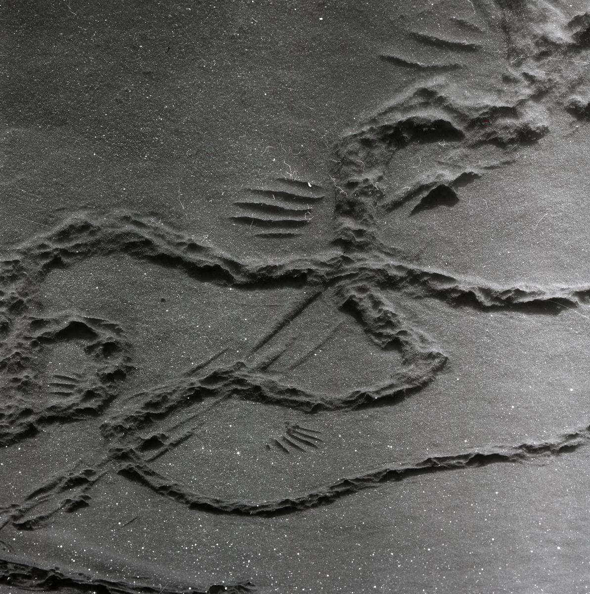 Djurspår i snön, 27 mars 1955.