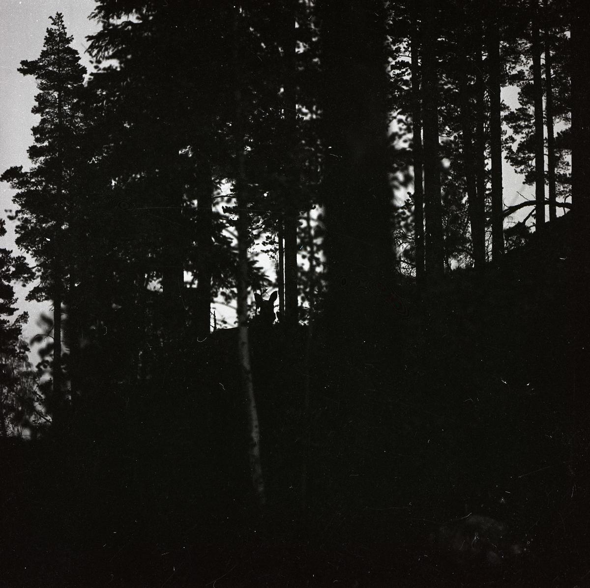 Öronen från en älgko sticker upp bland skogens trädstammar i Lindefallet, 27 september 1961.