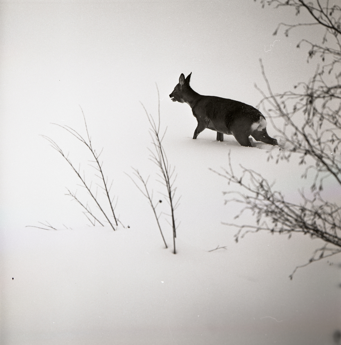 Ett rådjur vandrar i snö, 1966.