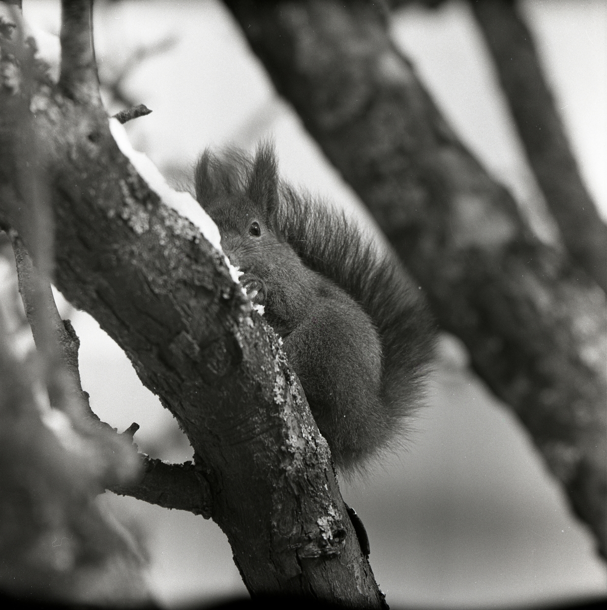 En ekorre är delvis täckt av den trädgren som den sitter på, 1960.