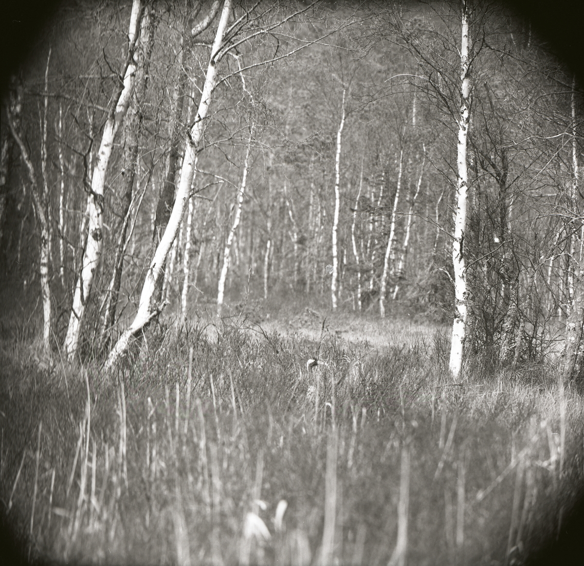 En tranas huvud sticker upp ur gräs intill en skog, maj 1965.