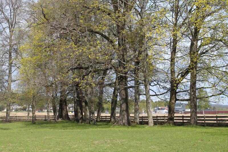 I hagens nord-vestre hjørne står en klynge med eldre trær som har hørt til i en engelsk inspirert landskapshage med svingete stier. Foto MiA.