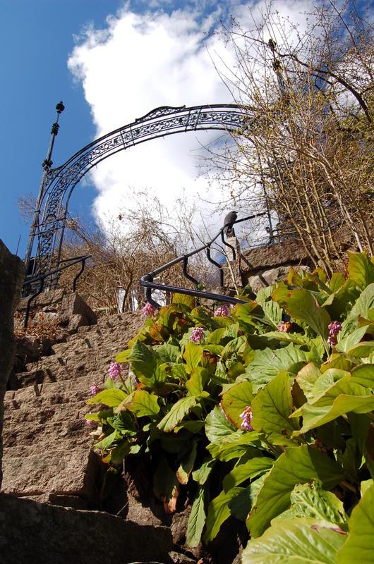 Bergenia ved granitt-trappen i museumshagen. Foto: Randi Malm (Foto/Photo)