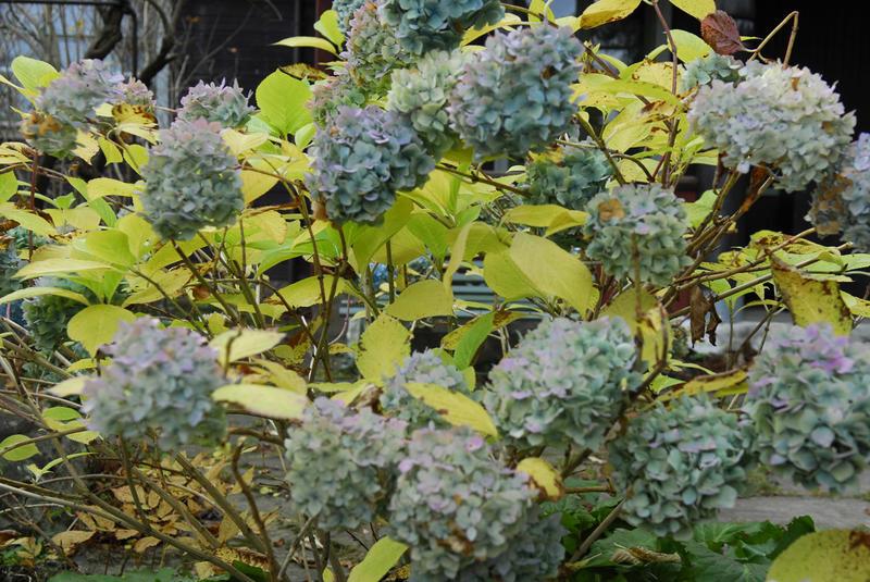 Vår flotte blå hagehortensia i oktober. Foto: Knut Bry