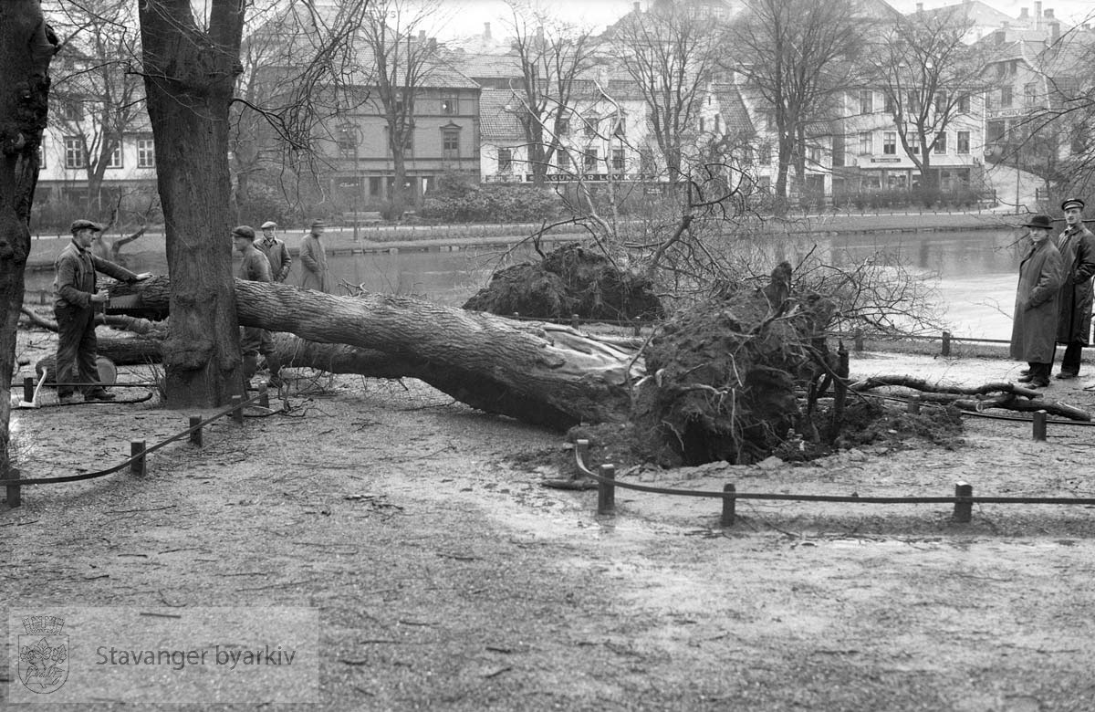 Nedblåste trær ved Breiavatnet. Kongsgaten i bakgrunnen.