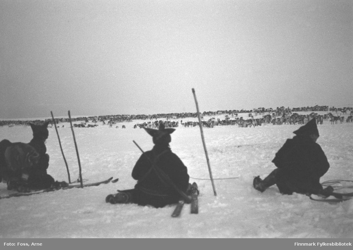 Per Ola Olses (usikker om etternavnet er riktig) reinflokk (ca. 4000 dyr) på østsiden av Tanadalen, nord for Seida, i november-desember 1946.