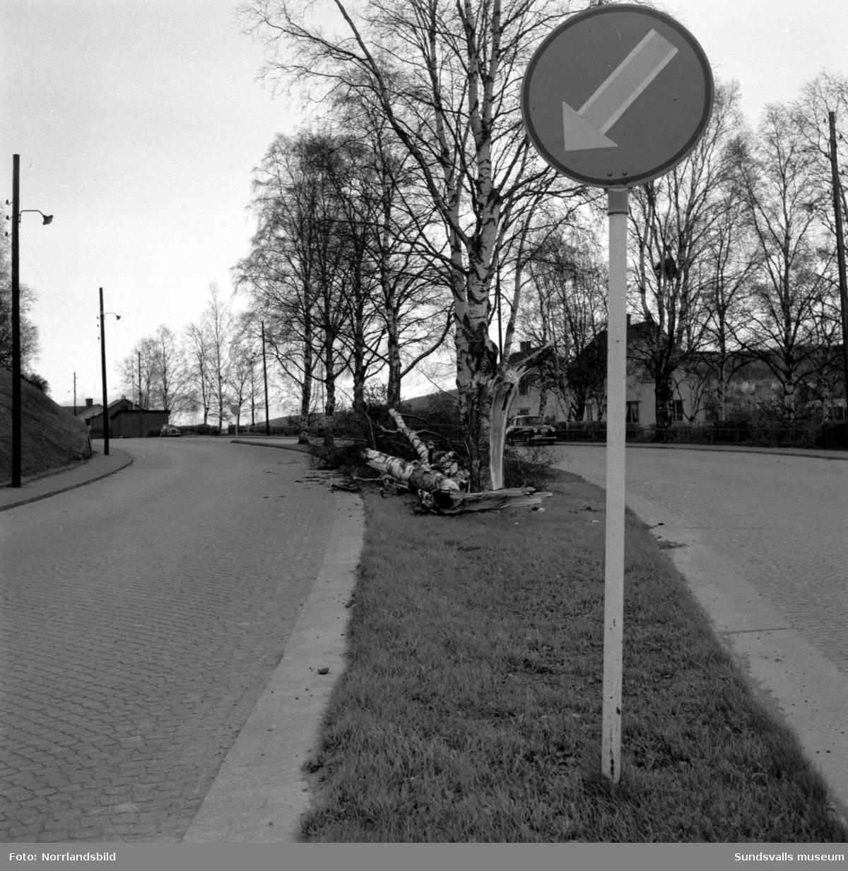 En björk har ramlat på Västra Vägen, i kurvan söder om kyrkogården. De tre villorna vid Västra vägen 13-17 syns i bakgrunden.