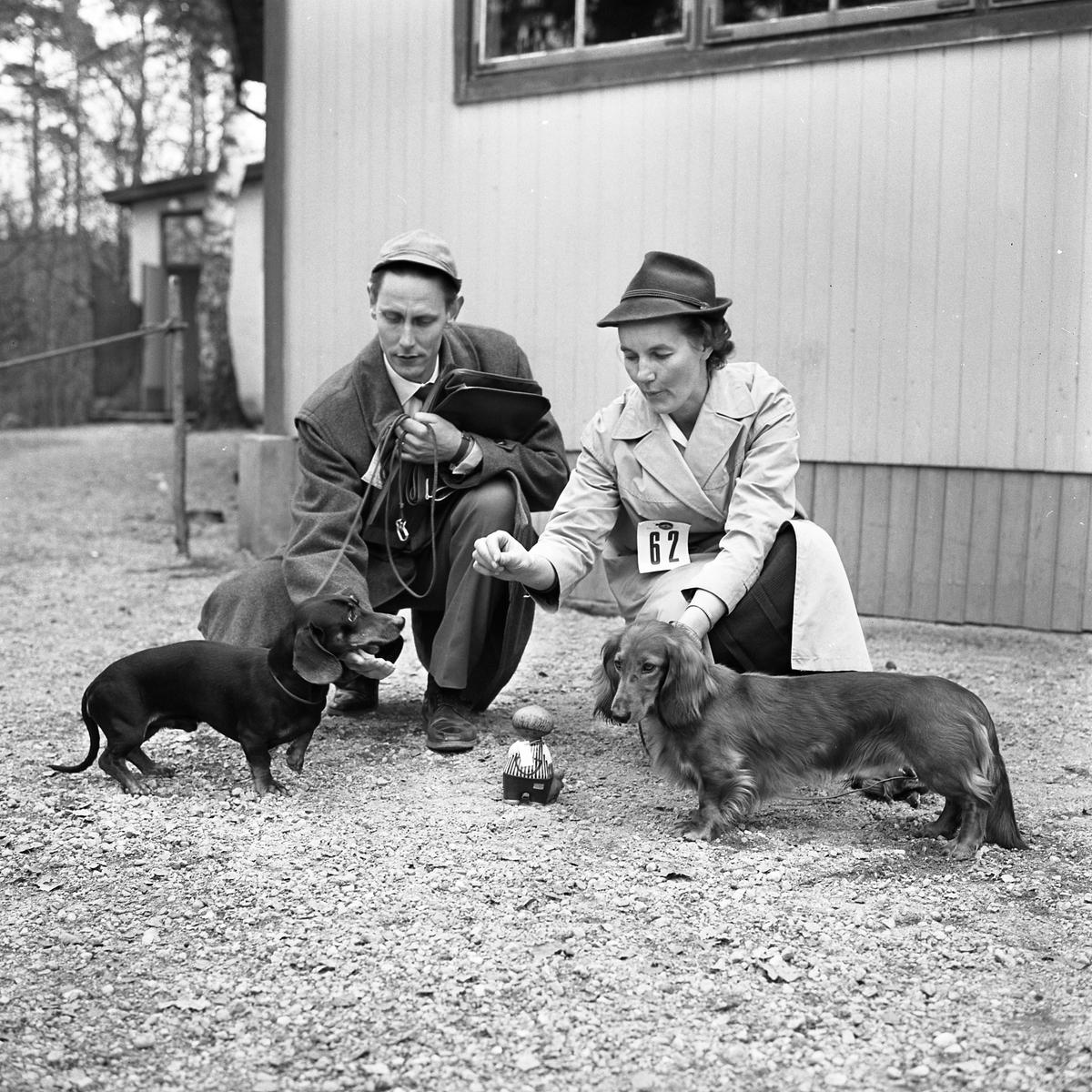 Hundutställning. En man och en kvinna sitter på huk med var sin hund. Mannen har en släthårig tax och kvinnan har en långhårig tax. Är de månne segrarna?