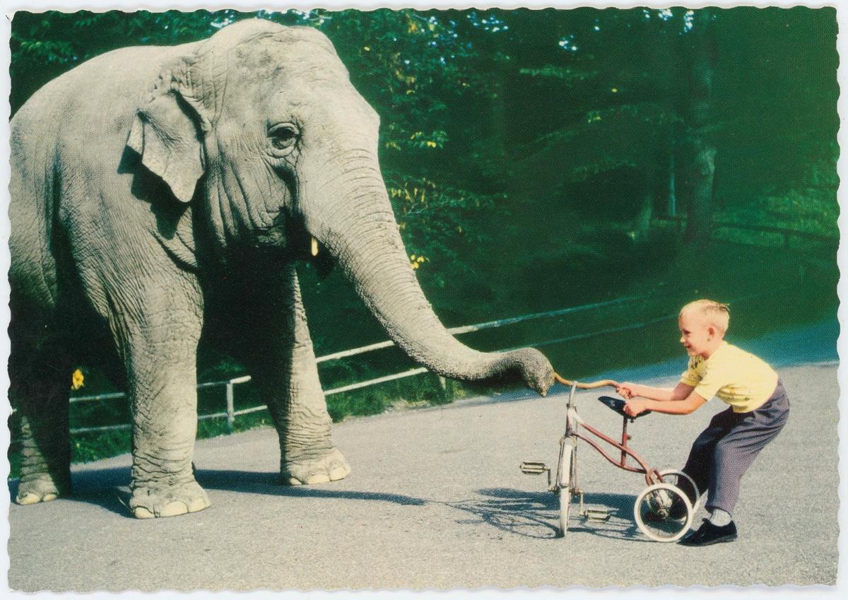 """Vykort med motiv från Skansen. """"Elefanten Bambina är lekfull"""" Elefant i dragkamp med en pojke om en trehjuling."""