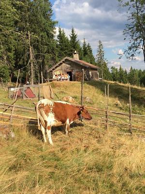 Ku på sætervangen, Skålbergsætra. Foto/Photo