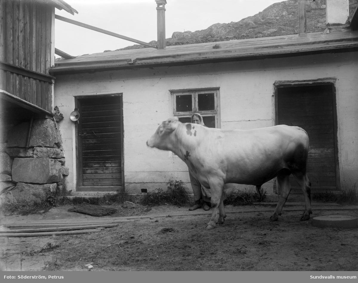 Uppvisning av tjur vid ladugård.
