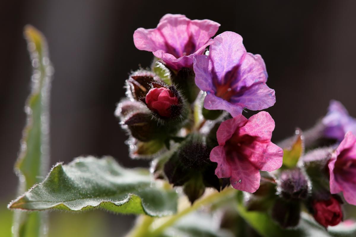 Lungeurt er en blomst med et fargestoff som bytter farge med PH-verdien, derfor kan den ha både rødlige og blålige blomster.