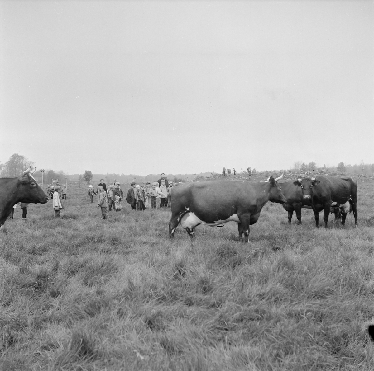 Elever bland kor på bete, Söderfors, Uppland, juni 1972
