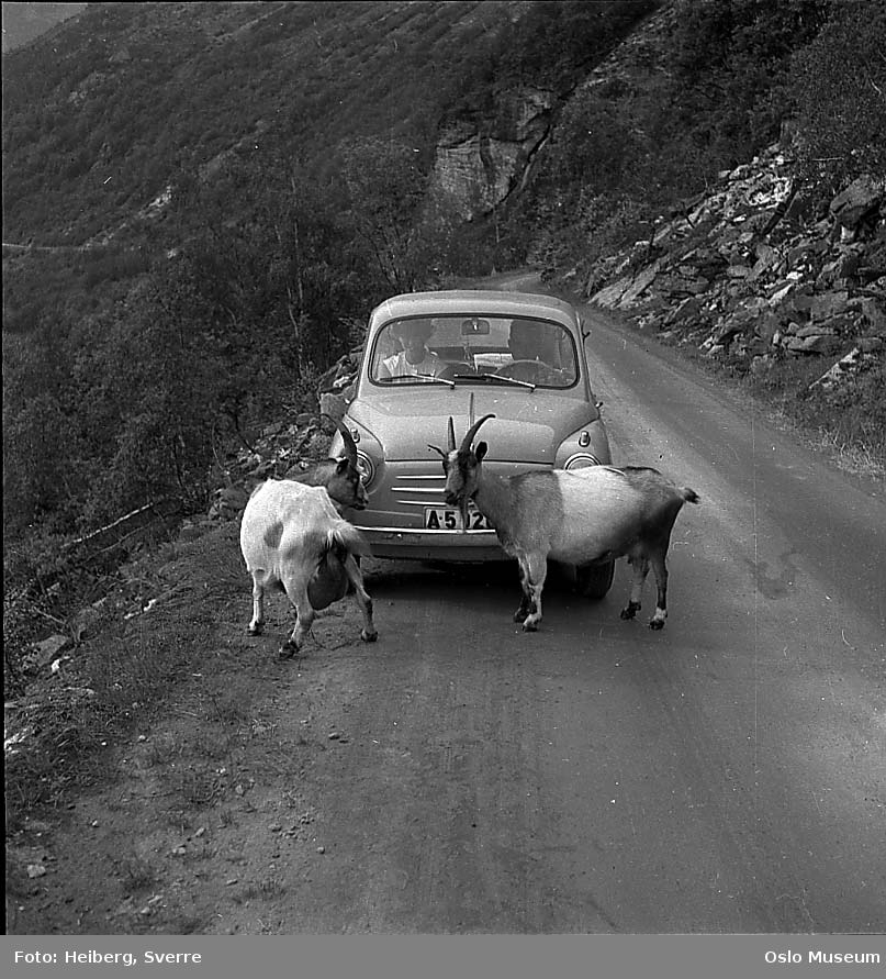vei, bil, geiter, fjellside