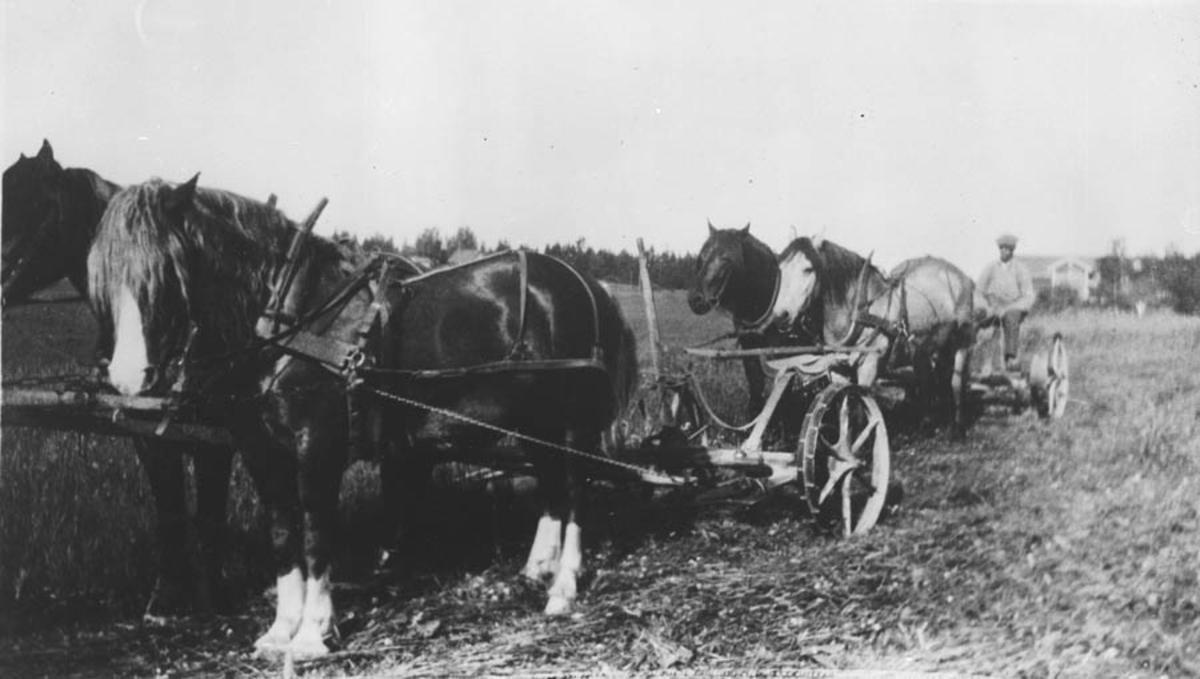 Høyonna med tohestetrukne slåmaskiner. Den forreste hesten het Snapp.