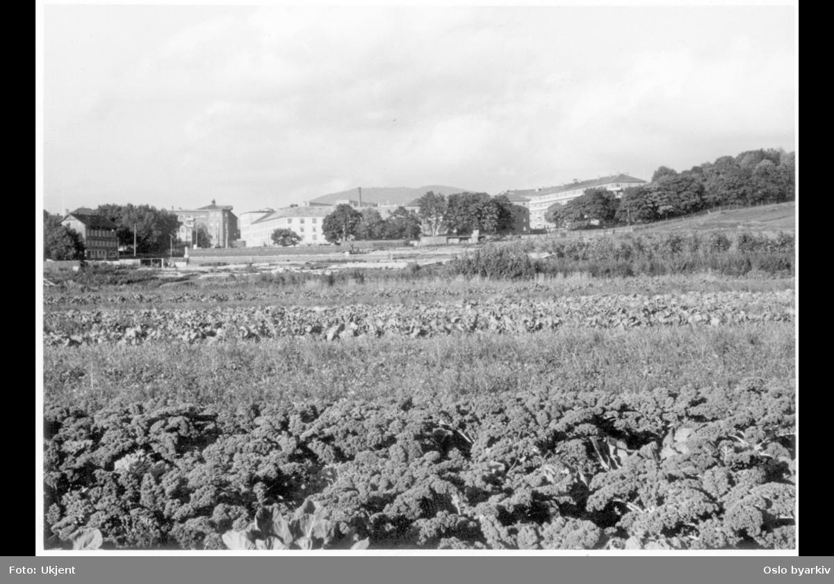 """Åker med grønnsak / nyttevekster i nordre Tøyenparken. (Området er nå utbygd med blokker.) Ola Narr opp til høyre. Carl Berner i bakgrunnen til venstre. Albumtittel: """"Tøyenarealene"""""""