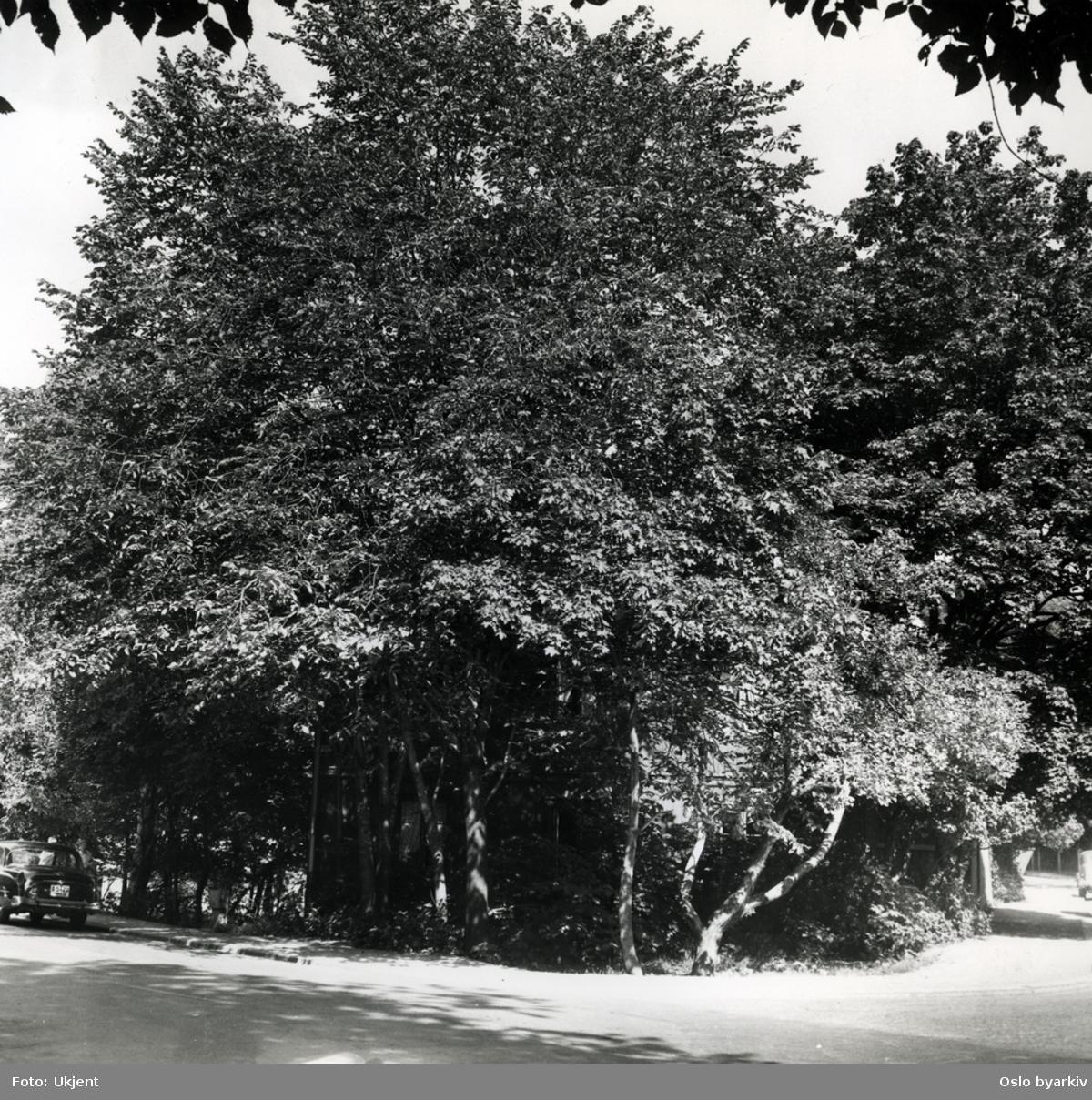 Trær på eiendommen Fagerborggata 10 - 12.