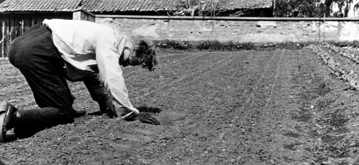 Tynning av gulrot, gartner Ludvik Lidsheim, Tjerne gård, Gaupen, Ringsaker.
