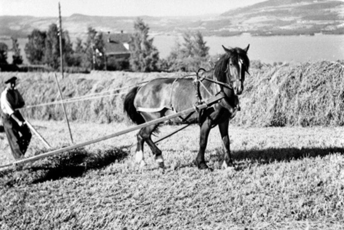 Slåttonn. Hest som trekker sleperive. Høyhesjer. Husa på Wold, Nes, Hedmark i bakgrunn.