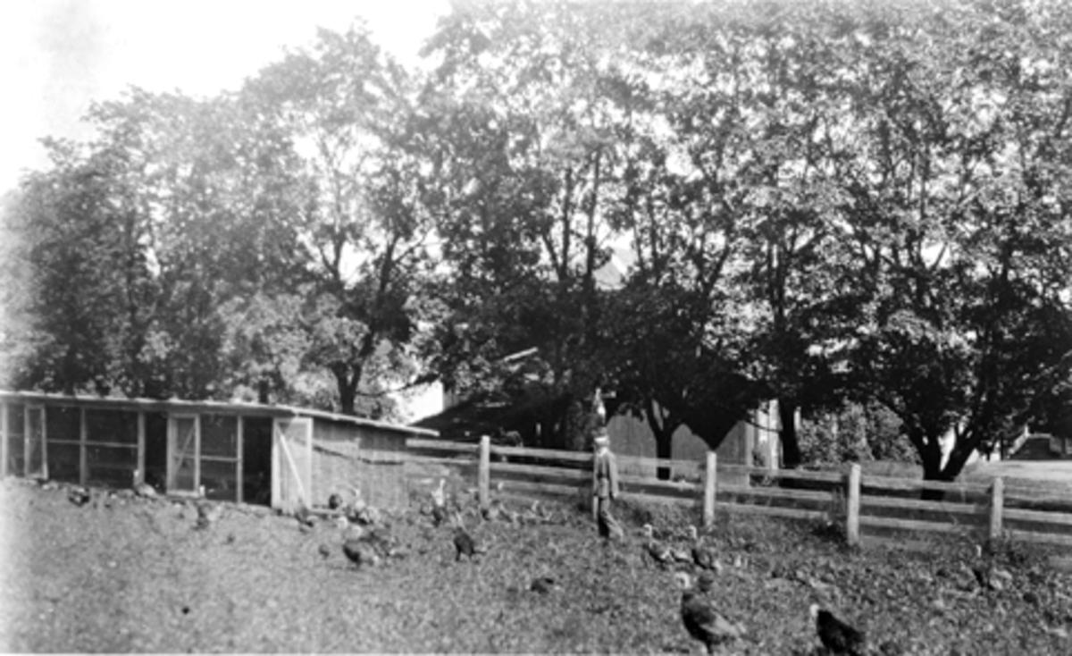 Grefsheim, Nes, Hedmark. Mellbye med kalkunflokken. Bur, gjerder, trær. 19/7-1931.