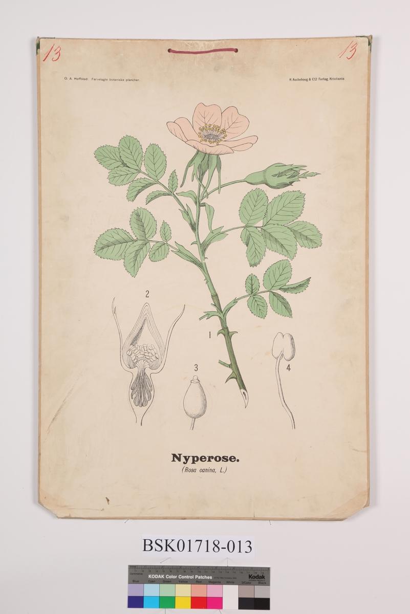 Nyperose