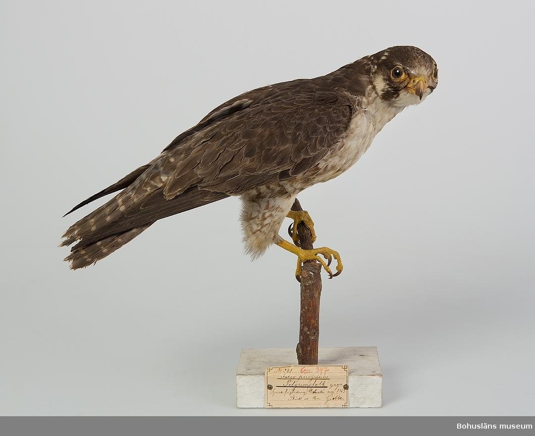 Subadult hane (2K). Bohuslän maj 1863. Skänkt av Herr Giobbe.  Ur handskrivna katalogen 1957-1958: Pilgrimsfalk