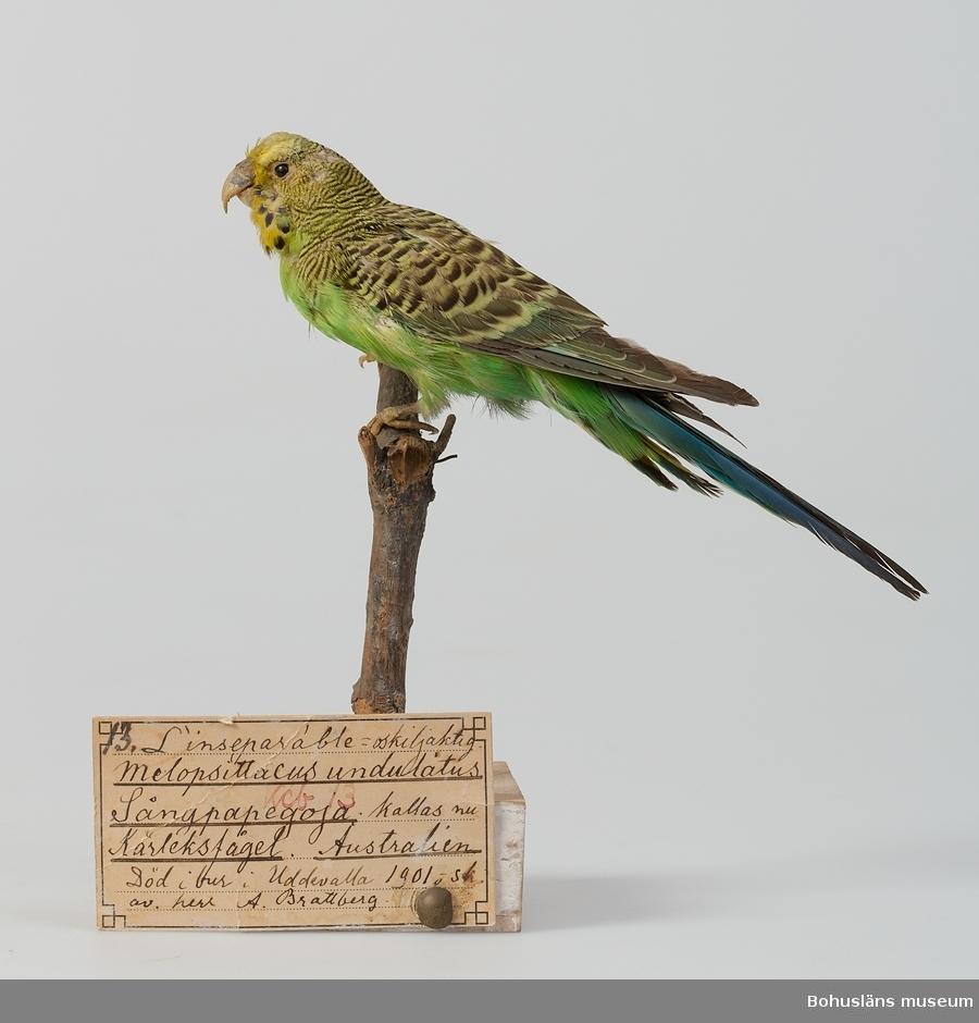 """Text på handskriven etikett: 13. Kcb 13. L'inseparable = oskiljaktig. Melopsittacus undulatus. Sångpapegoja, kallas nu Kärleksfågel. Australien. Död i bur i Uddevalla 1901 o sk. [skänkt] av herr A. Brattberg.  Ur handskrivna katalogen 1957-1958: Sångpapegoja  Enligt text på etikett:""""Död i bur i Uddevalla."""""""