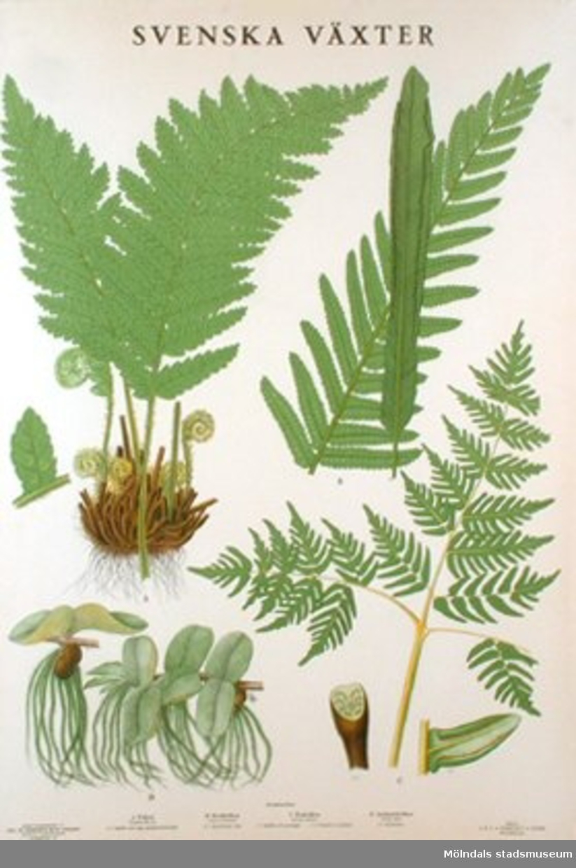 Biologi.Svenska växter: Ormbunkar.Utarbetade av Gust. Malme och M. Richter.Bengtsons lit. A.B, Stockholm.