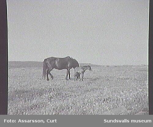 Häst med föl på betesmark.
