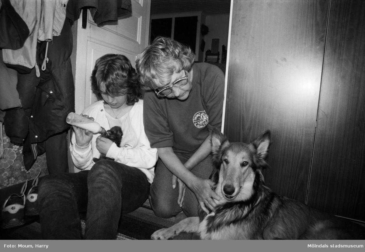 """Rävungar hos familjen Ovring i Hassungared, Lindome, år 1984. """"Idyll i tamburen hos familjen Ovring. Ulrika matar rävungen och mormor klappar om Lurvan.""""  För mer information om bilden se under tilläggsinformation."""