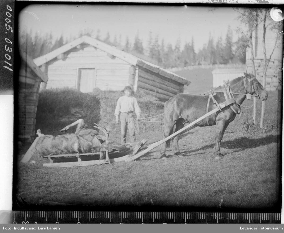 Hest med en død elg på en slede.