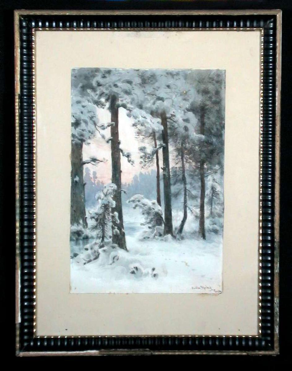Vinterlandskap med høye furutrær i aftenlys.