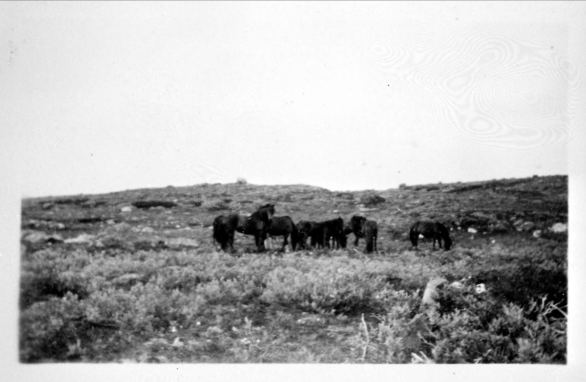 Landskap, fjell, hester