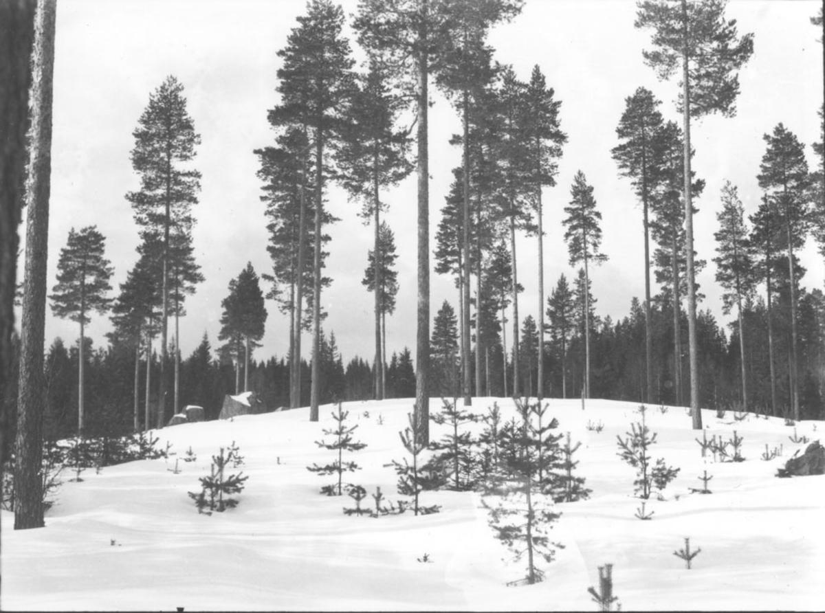 Furuskog, vinter.